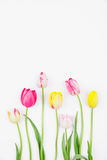 Colorful tulips against white backround Royalty Free Stock Photos
