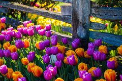 Colorful tulips along an old fence. In spring Royalty Free Stock Photography