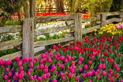 Colorful tulips along an old fence. In spring Royalty Free Stock Image