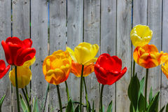 Colorful Tulips Along a Weathered Fence. Bright red, yellow, orange, and mixed blend of sunny tulips stand out against a weathered rustic grey stockade fence Royalty Free Stock Images