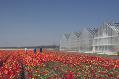 Colorful tulips in the background a greenhouse. Working people in a colorful tulips landscape Stock Image