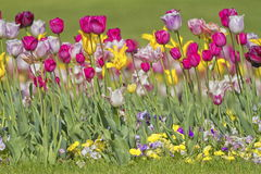 Colorful tulips background pink Royalty Free Stock Images