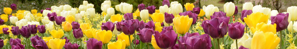 Colorful Tulips (Flowers) Stock Photo