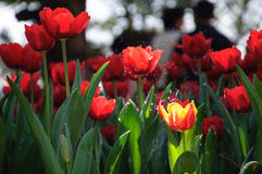 Colorful Tulips. Beautiful Tulips with water drops Stock Photography