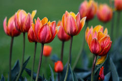 Colorful tulips in the beginning of the spring Stock Image