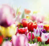 Colorful tulips in bloom Stock Photography