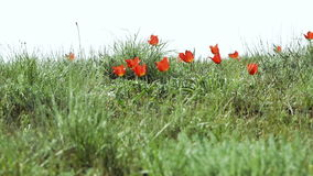 Colorful tulips bloom in the desert stock video footage