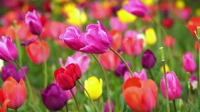 Tulips bloom in the garden. Colorful tulips bloom in the garden stock footage