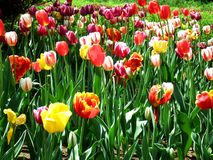 Colorful flowers and tulips royalty free stock images