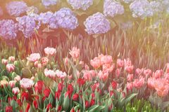 Colorful Tulips Bloom Summer Royalty Free Stock Photography
