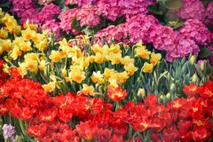 Colorful Tulips Bloom Summer Stock Photos