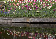Colorful tulips blooming in the garden and their mirror image in the water. Colorful tulips blooming in the garden and their mirror image in the water Stock Photo