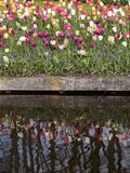 Colorful tulips blooming in the garden and their mirror image in the water. Colorful tulips blooming in the garden and their mirror image in the water stock image
