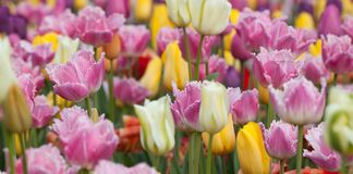 Colorful tulips blooming in the park or in the garden. Colorful bright and beautiful tulips blooming in the park or in the garden royalty free stock photography