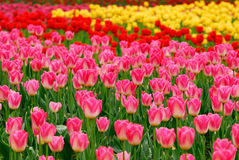 Colorful tulips. The blooming colorful tulips  in the spring Stock Photos