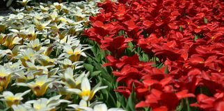 Colorful tulips blooming in spring in the famous Dutch tulip park. Taken in Keukenhof, Netherlands stock image