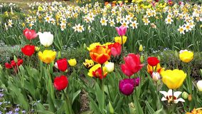 Colorful tulips blooms stock footage