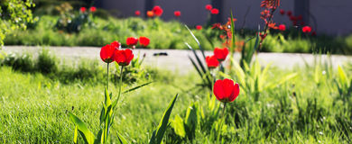Colorful tulips blossom in spring time royalty free stock photos