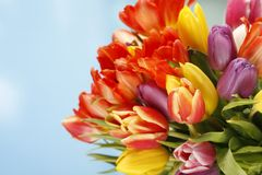 Colorful tulips on blue sky background. Colorful tulips on a blue sky background Royalty Free Stock Photography