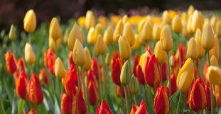 Colorful tulips on blurred background Stock Image