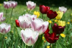 Colorful tulips in a botanical garden Royalty Free Stock Photo