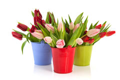 Colorful tulips in buckets Royalty Free Stock Image