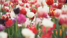 Colorful tulips at close range stock footage