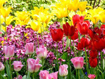 Colorful tulips. Close up of some beautiful tulips in st. james`s park in london Stock Image