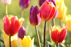 Colorful tulips. Close up of colorful springtime tulips in garden. Focus on a red tulip on the right Royalty Free Stock Image
