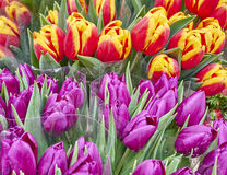 Colorful tulips closeup Royalty Free Stock Photo