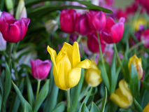 Colorful tulips. Colourful flower of tulips in the garden Stock Image