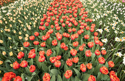 Colorful tulips and daffodils  blooming in a garden Stock Images