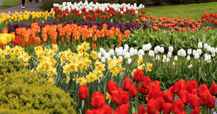 Colorful tulips and daffodils  blooming in a garden Royalty Free Stock Photo