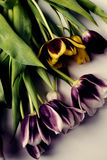 Colorful tulips. In dark colors Stock Photography
