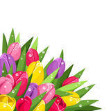 Colorful tulips with dew drops. Background with red, pink, yellow and purple tulips with dew drops on a white background Stock Photo