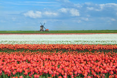Colorful tulips on dutch fields and windmill Stock Photos