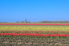 Colorful tulips and Dutch windmill Royalty Free Stock Photos