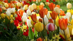 Colorful tulips Royalty Free Stock Images
