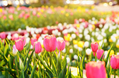 Colorful tulips in the evening city, sunset Royalty Free Stock Photography