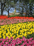 Colorful tulips. Field of colorful tulips on the background of the church Royalty Free Stock Photography