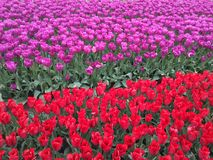 Colorful tulips in field. Beds of red and purple contrasting tulips in sunny farm field Royalty Free Stock Image