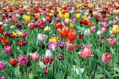 Colorful tulips on a field. Some of them being withered already which gives them a special charm Stock Photography