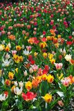 Colorful tulips in field. At springtime sunny day, Vertical format royalty free stock image