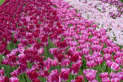 Colorful tulips field Stock Photography