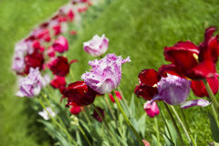 Colorful tulips. Field of colorful tulips on natural green background Stock Image