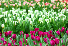 Colorful tulips field Royalty Free Stock Photo