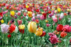 Colorful tulips on a field. Some of them being withered already which gives them a special charm Royalty Free Stock Photos