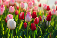 Colorful tulips field in spring time Stock Photography