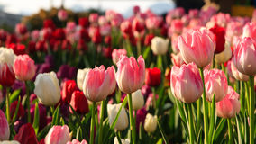 Colorful tulips field in spring time Royalty Free Stock Photos