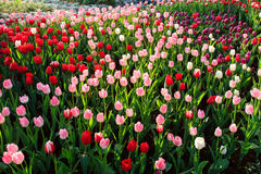 Colorful tulips field in spring time Stock Images